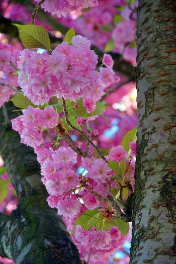Plant Flower Flowering Plant Growth Pink Color Beauty In Nature Fragility Vulnerability  Freshness Tree Nature Close-up Tree Trunk Trunk No People Day Petal Blossom Outdoors Botany Springtime Purple Spring Cherry Blossom Lilac EyeEm Best Shots EyeEmNewHere EyeEm Nature Lover