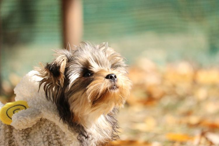 Dog Pets Animal One Animal Puppy Animal Hair Cute Focus On Foreground Domestic Animals Animal Themes Shih Tzu Outdoors Wet Day Young Animal No People Portrait Mammal Close-up ヨークシャーテリア 犬 ドッグラン ふわふわ Dog Love