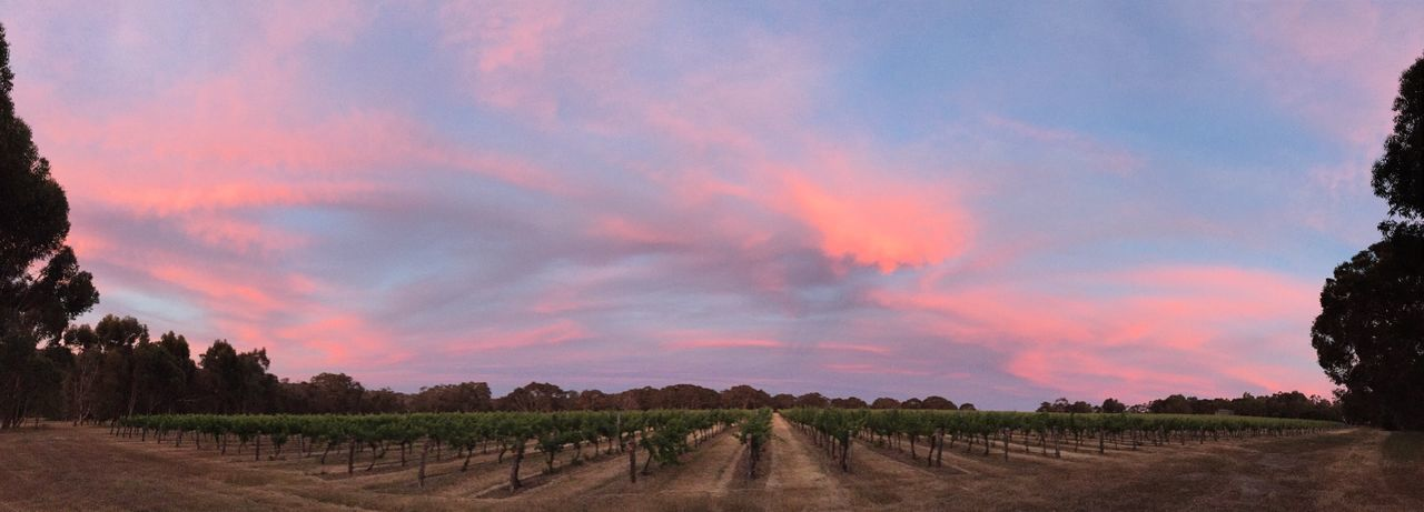 Vineyard sunset Australia Sunset Vinyard Winery Landscape
