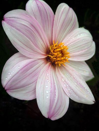 A summer flower That's Me Nature's Best Macro Photography Beautifulflowerseveryday Beautiful Flowers Garden Nature Garden Photography Flowers, Nature And Beauty Beautifulflowerseveryday Iphonephotography
