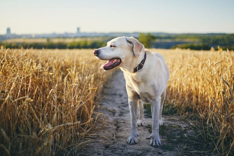 Labrador retriever standing on agricultural field