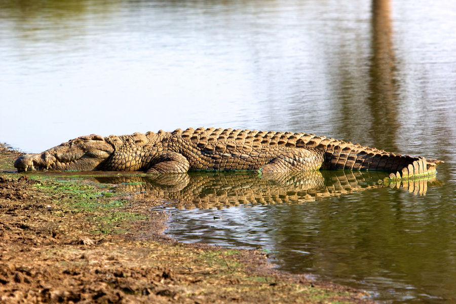 Crocodile in Kruger National Parkhor Africa Animal Themes Animal Wildlife Animals In The Wild Crocodile Day Horizontal Kruger Park Krugernationalpark Mammal Nature No People One Animal Outdoors Reptile River South Africa Water