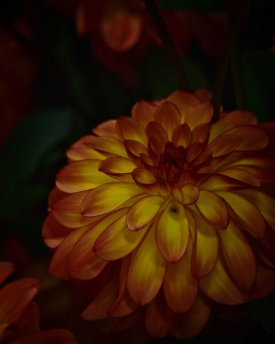 Dahlia Dahlias Flower Flowering Plant Close-up Freshness Petal Beauty In Nature Plant Nature No People Focus On Foreground Dahlia Yellow Outdoors Day Inflorescence Growth Vulnerability  Flower Head Fragility