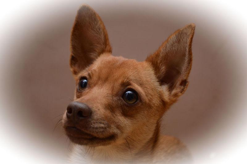 Adorable Animal Head  Animal Themes Cute Dog Love Face Indoors  Kruising Pinsch One Animal Portrait