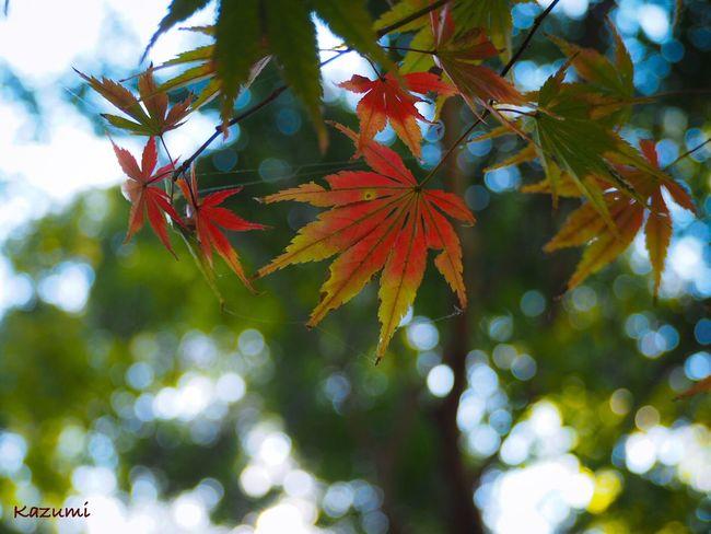 小さい秋🌰🍂🍁その7 Leaf Autumn Change Maple Leaf Nature Maple Tree Tree Beauty In Nature Day Growth No People Maple Outdoors Focus On Foreground Close-up Nature Beauty In Nature MapleWoods Autumn Autumn🍁🍁🍁 Autumn Collection Autumn Leaves 神代植物公園 Tokyo Japan