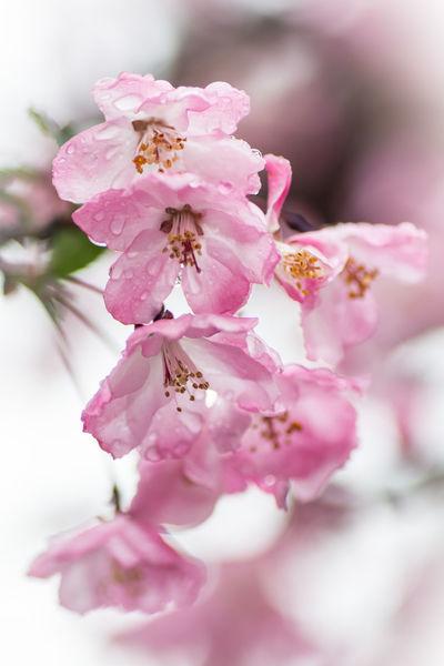 Asakusa Blossoms. Rainy but beautiful day around Sensō-jiTemple. Asakusa, Tokyo, Japan. Nikon D7100   90mm   1/400 sec   f/4   iso 100 Wanderlust Urban Exploration Blossom Flower Spring