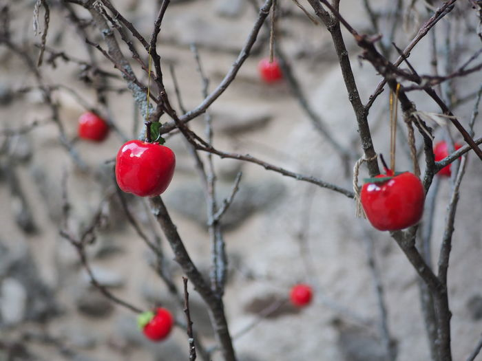 EyeEm Selects Tree Branch Snow Cold Temperature Winter Fruit Red Rose Hip Deciduous Tree Twig Christmas Decoration Christmas Ornament