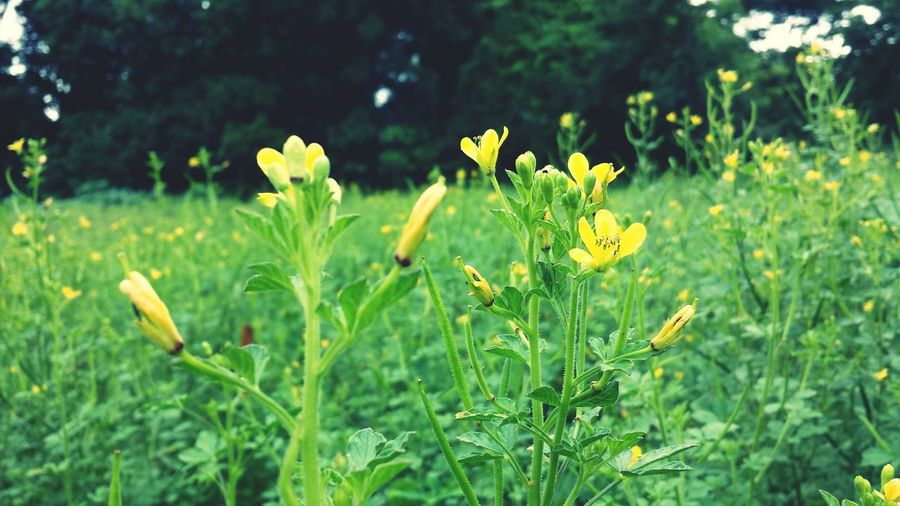 Wandering at the wilderness behind our house. Wild Flowers Meadows Yellow Flower EyeEm Nature Lover Nature Green