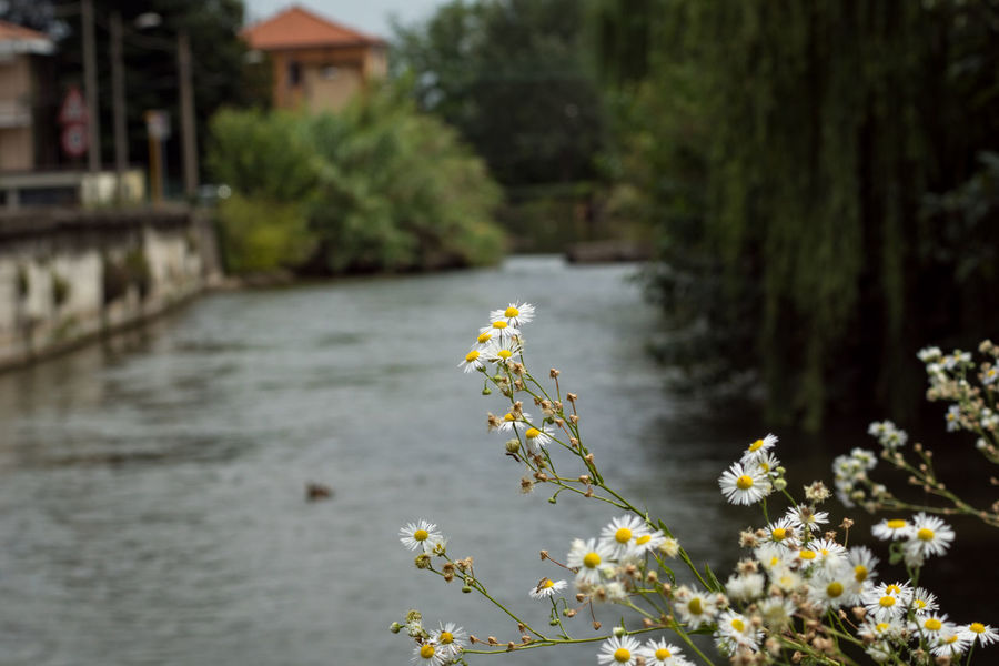 Daisies Flowers Freshness Front Focus Nature No People River View Summertime Tranquil Scene