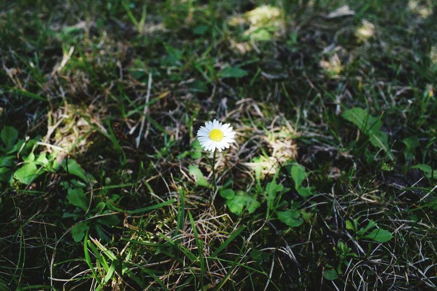 Gänseblümchen Outdoor Photography Er Liebt Mich... Er Liebt Mich Nicht Flower Rasen