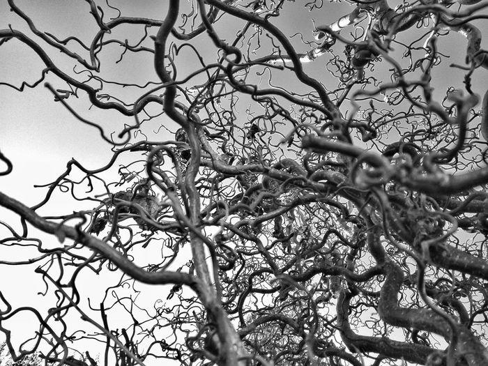 Tangled. Tree Branch Nature Bare Tree Low Angle View Beauty In Nature Tangle Tangled Hazel Hazelnut Tree Hazel Tree