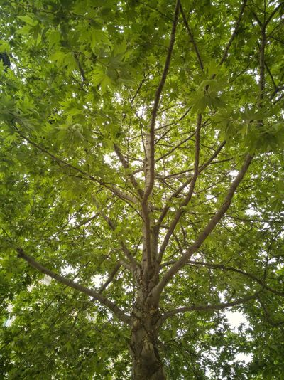 Tree Branch Forest Backgrounds Leaf Tree Trunk Sky Green Color Directly Below Treetop Countryside Greenery Deciduous Tree Lush WoodLand Lush Foliage Vegetation Dense Flora Woods Green Blossoming  Tree Canopy