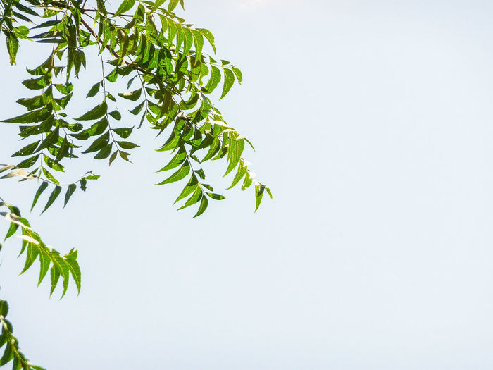 GREENS Branches Of Trees Nature Lush Foliage Clear Sky Freshness Greenery Blue Sky Greens Tree Branch Leaf White Background Plant Part Tree Area Close-up Sky Plant Photosynthesis Delicate Relaxed Moments Twig