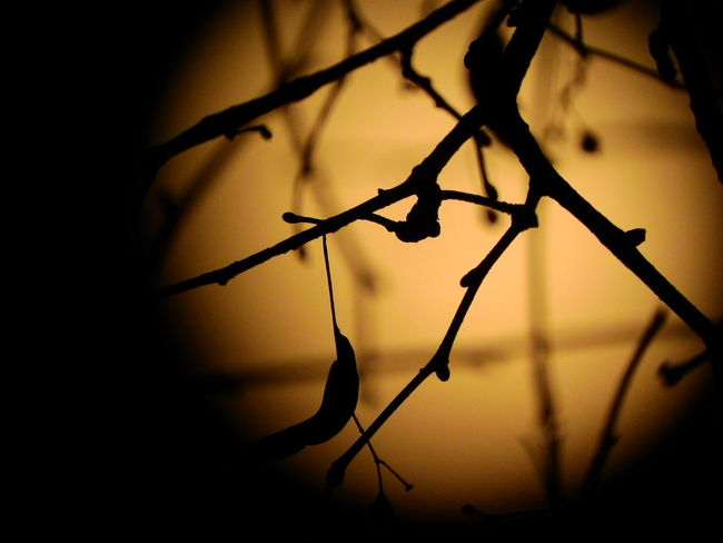 Branch Close-up Focus On Foreground Howling At The Moon Nature Scary Silhouette Twig
