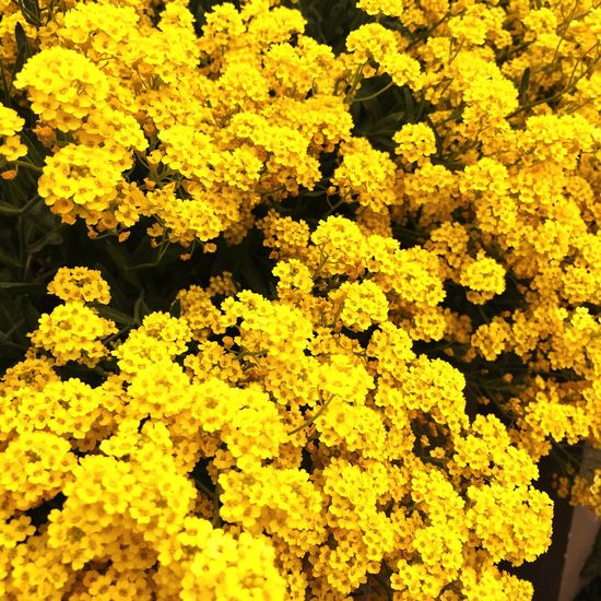 Blossoms01 Yellow Flower Flowering Plant Beauty In Nature Plant Fragility Vulnerability