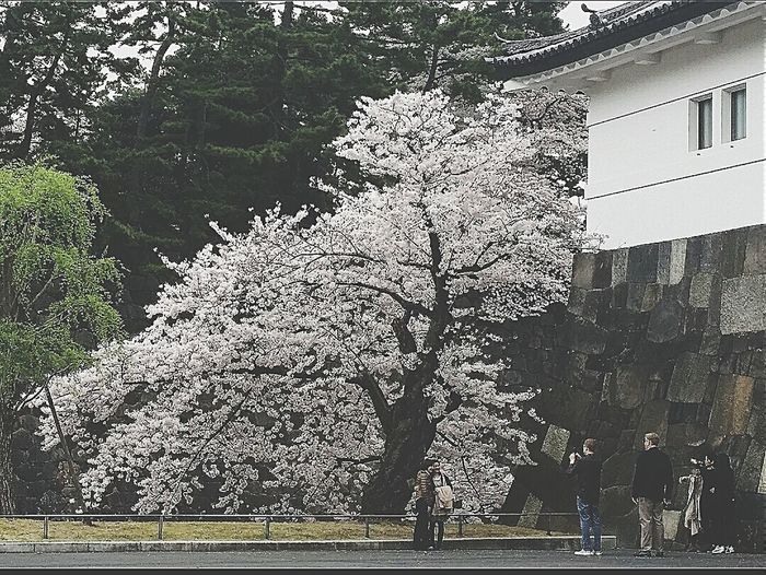Sakuradamon Imperial Palace Cherry Tree Spring 2015 Chiyoda Japan Tokyo Travel Photography
