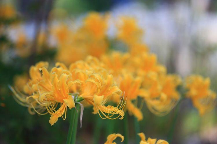 黄色い彼岸花♪(*´︶`*)✿