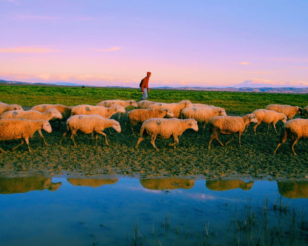 Agriculture Farm Livestock Rural Scene One Person Farmer Reflection Animal Wildlife Domestic Animals Large Group Of Animals Nature Beauty In Nature People Outdoors Animal Sunset Animal Themes Flock Of Sheep Sheep Scenics
