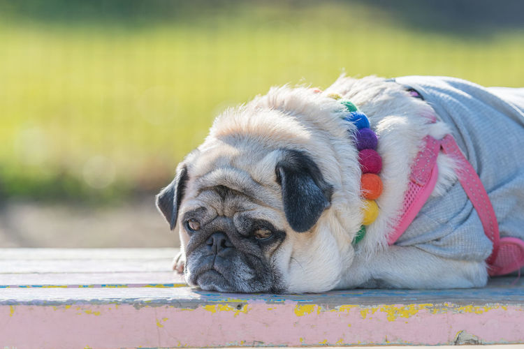 Pug during a break Pug Animal Themes Day Dog During Break :) Mammal No People One Animal Outdoors Pets Sleepy