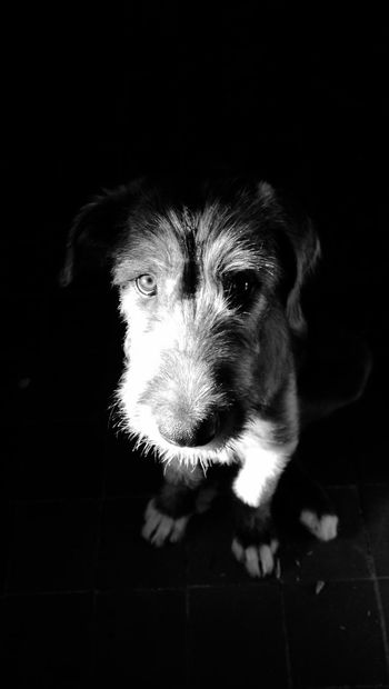 Blackandwhite Cheese! Summer2015 Cearnaigh Dog Of The Day Irish Wolfhound I Love My Dog❤ A Dogs Life Puppy❤ From My Point Of View