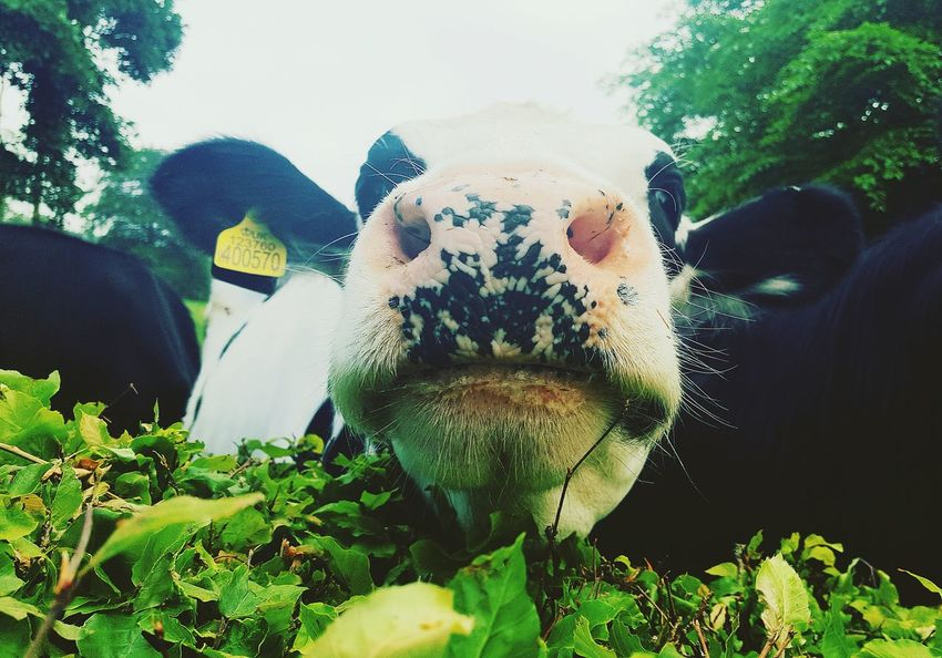 Cow Moo FarmAnimal Moocow Milk Hedge Leaves