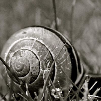 Snail Nature Blackandwhite Cumberlandbc Cumberland Amateurphotog Inmyyard Grass