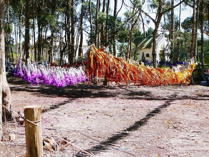 Waves Of Colour ~ No People Nature Outdoors Tree Sunlight Petal Beauty In Nature Freshness Africa Dried Flowers Hanging Hands On Everlasting Purple Flower Gold Colored Bluegums