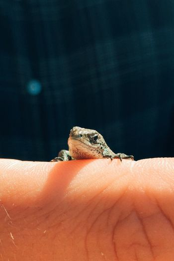 Sisilisko Reptile Dragon Lizard Summer Finland