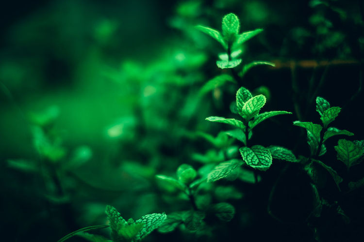 Beauty In Nature Close-up Day Digestion Freshness Green Color Growth Herb Herbal Herbal Plant Leaf Medicine Mint Natural Nature No People Organic Outdoors Peppermint Plant Tea Copy Space