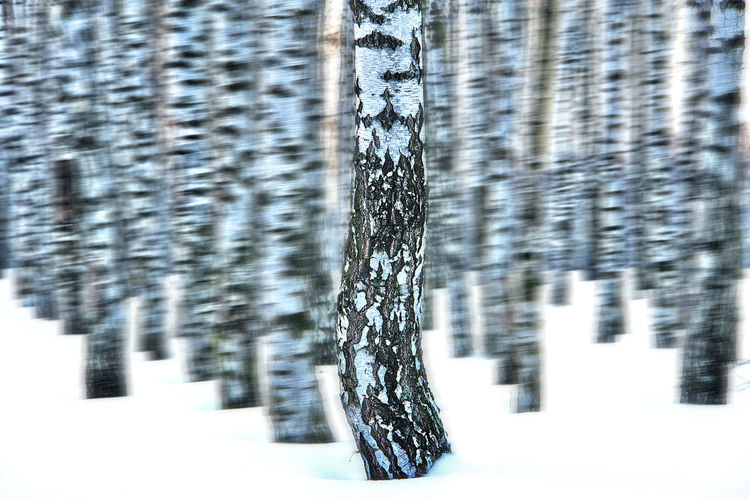 Birch Forrest Birches Birches In Snow Birken Birken Im Schnee Birkenwald Day Frontal View Nature No People Outdoors Schnee Snow Snow ❄ Surreal Tree