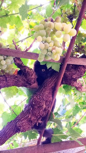 Animals Vine Green Color Nature Fruit Beauty In Nature Cat Cat Eyes Animal Photography Animal Grape Agriculture Pink Color Day Outdoors Eyeem Best Moment Capture The Moment Enjoying The Sun Italy Calabria