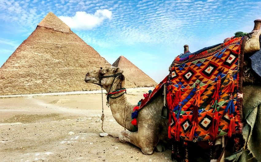Camel sitting on sand in front of pyramids at desert