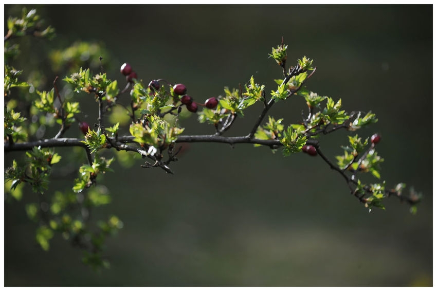 Outdoors Day Close-up Green Colour Kirriemuir Countryside The Den Beauty In Nature Morning Light Shadow And Light Blooming Branches And Leaves Berries