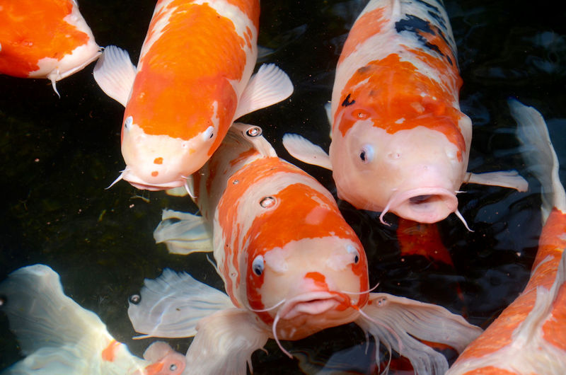 Close-up of koi carps swimming in water