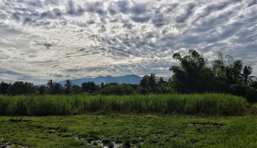 Morning Light EyeEm Gallery The Week on EyeEm Eyeem Philippines Philippine Sceneries Bamboo Trees Sugarcane Field Mount Kanlaon Tree Agriculture Cloud - Sky Field Nature Beauty In Nature Growth Rural Scene Landscape Scenics Outdoors Sky Day No People