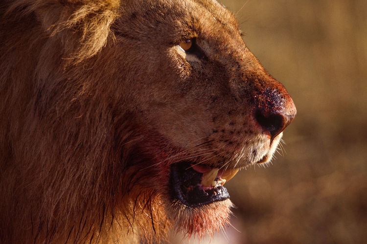 High-detail close-up profile shot of sunset-lit male lion in masai mara, kenya.