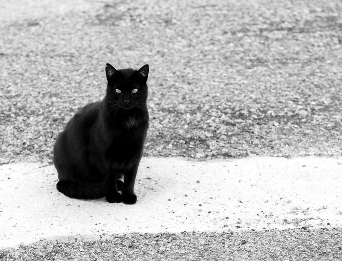 Blackandwhite Black And White Black & White Black&white Black&white Photography Street Streetphotography Street Photography Domestic One Animal Pets Mammal Cat Domestic Cat Domestic Animals Feline Portrait Looking At Camera Vertebrate Sitting No People Day Nature City Black Color Whisker