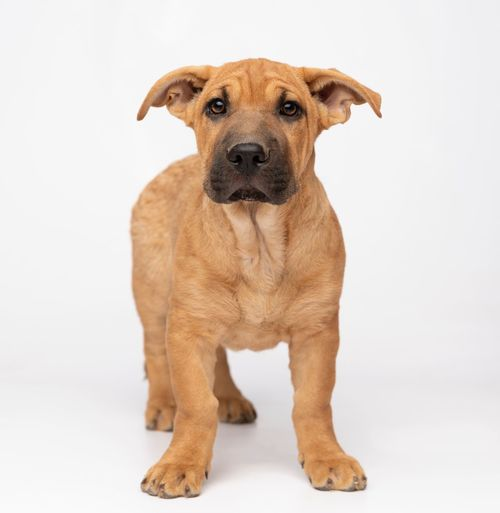 Pets One Animal Domestic Domestic Animals Mammal Canine Dog White Background Sitting Portrait Looking At Camera No People Brown Studio Shot Indoors  Looking