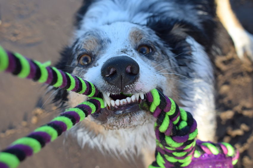 Tug of war - beach style Beach Photography Border Collie EyeEm Best Shots EyeEm Selects EyeEmBestPics Animal Themes Close-up Dog Domestic Animals Looking At Camera Mammal Nature No People One Animal Outdoors Pets Portrait Sandy Teeth Gripping Grip Teeth Showing