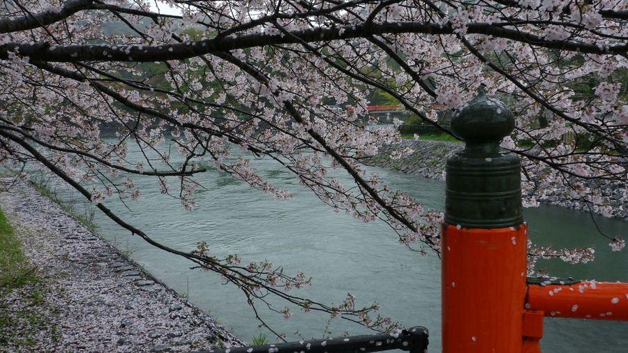 桜&宇治川