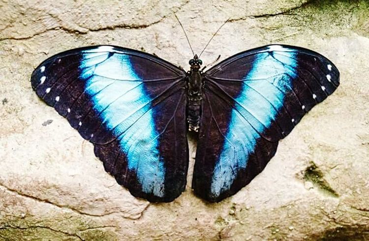 Animal Themes Insect One Animal Animals In The Wild Wildlife Butterfly - Insect Close-up Blue Animal Wing Invertebrate Animal Markings Animal Antenna Arthropod Butterfly Zoology Multi Colored Nature No People Blue Colored Ominous