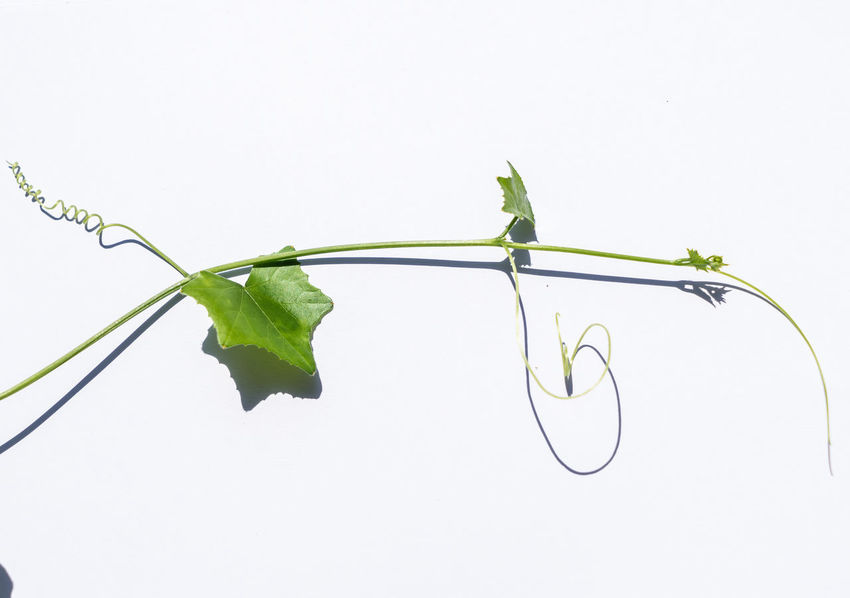 Lvy Gourd Coccinia Grandis Coccinia Leaf Plant Part White Background Plant Studio Shot Copy Space Nature Green Color Growth Indoors  No People Close-up Freshness Plant Stem Vulnerability  Fragility Beauty In Nature Cut Out Vine
