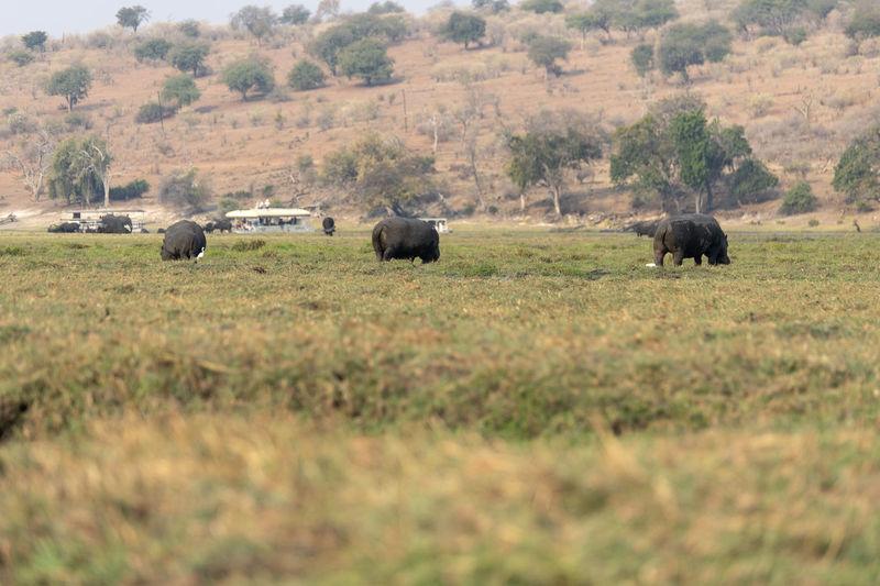 Hippo grazing in a field