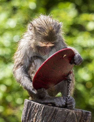 Little monkey looking in the mirror