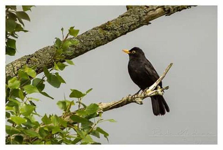 Birds Melro Negro Open Edit Animals