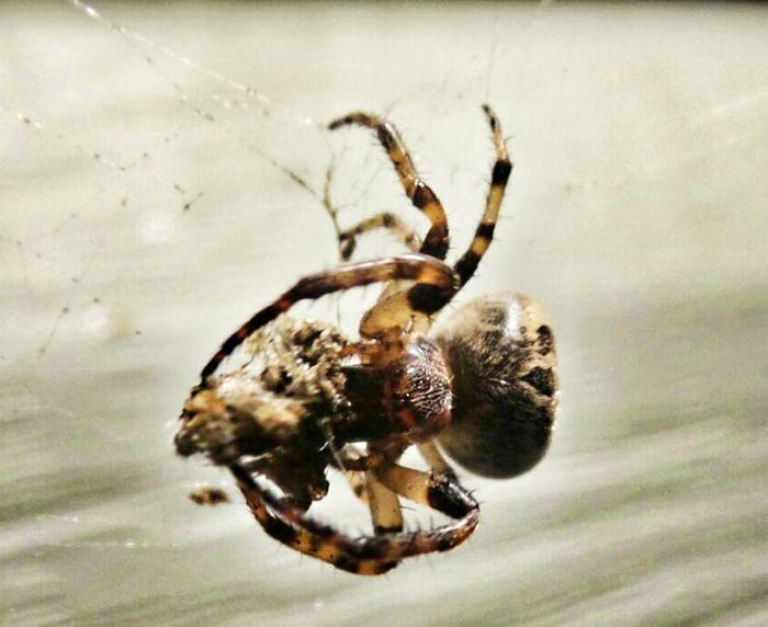 Spider Spider Web EyeEm Nature Lover Arachnid Eyem Nature Lovers  Light And Shadow Macro Spider Creepy Crawly Creeper Spider Food