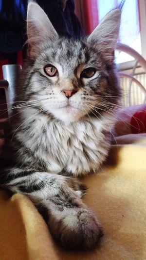 Mybaby Sweet Mainecoon Blacksilver Brown Eyes Love Pets Beauty Nhala❤️ Cat Faces Of EyeEm