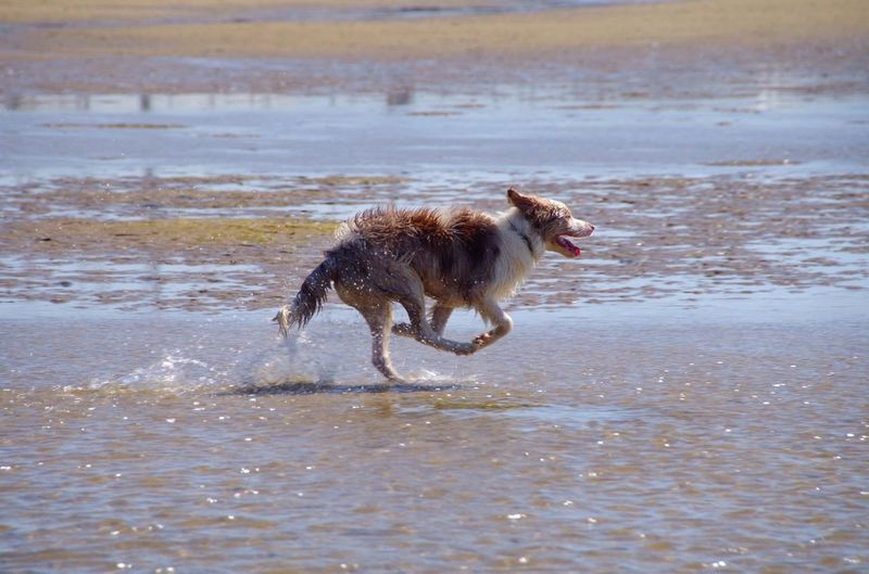 Dog running on water at beach