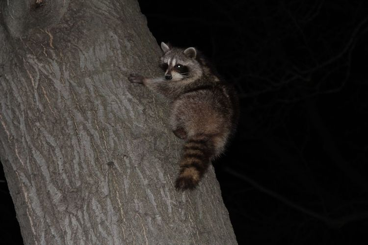 Low Angle View Of Raccoon On Tree Trunk At Night