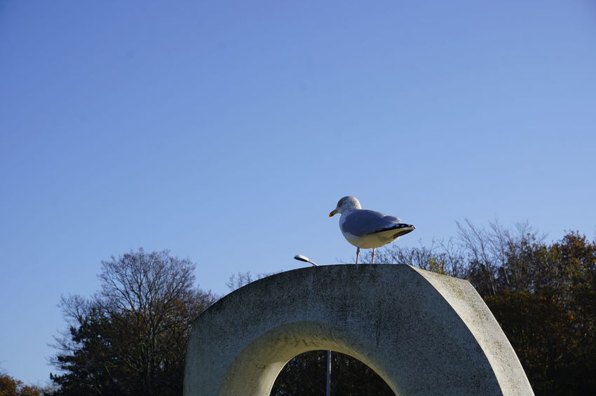 A seagull watching over us Bird Animal Wildlife Animal Animals In The Wild Animal Themes Vertebrate Sky Blue One Animal Copy Space Clear Sky Perching Nature Plant Low Angle View Tree Day No People Seagull Outdoors The Hague